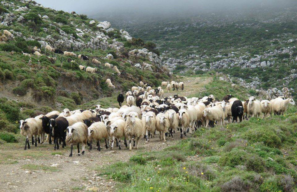 Ραντεβού με πρόβατα
